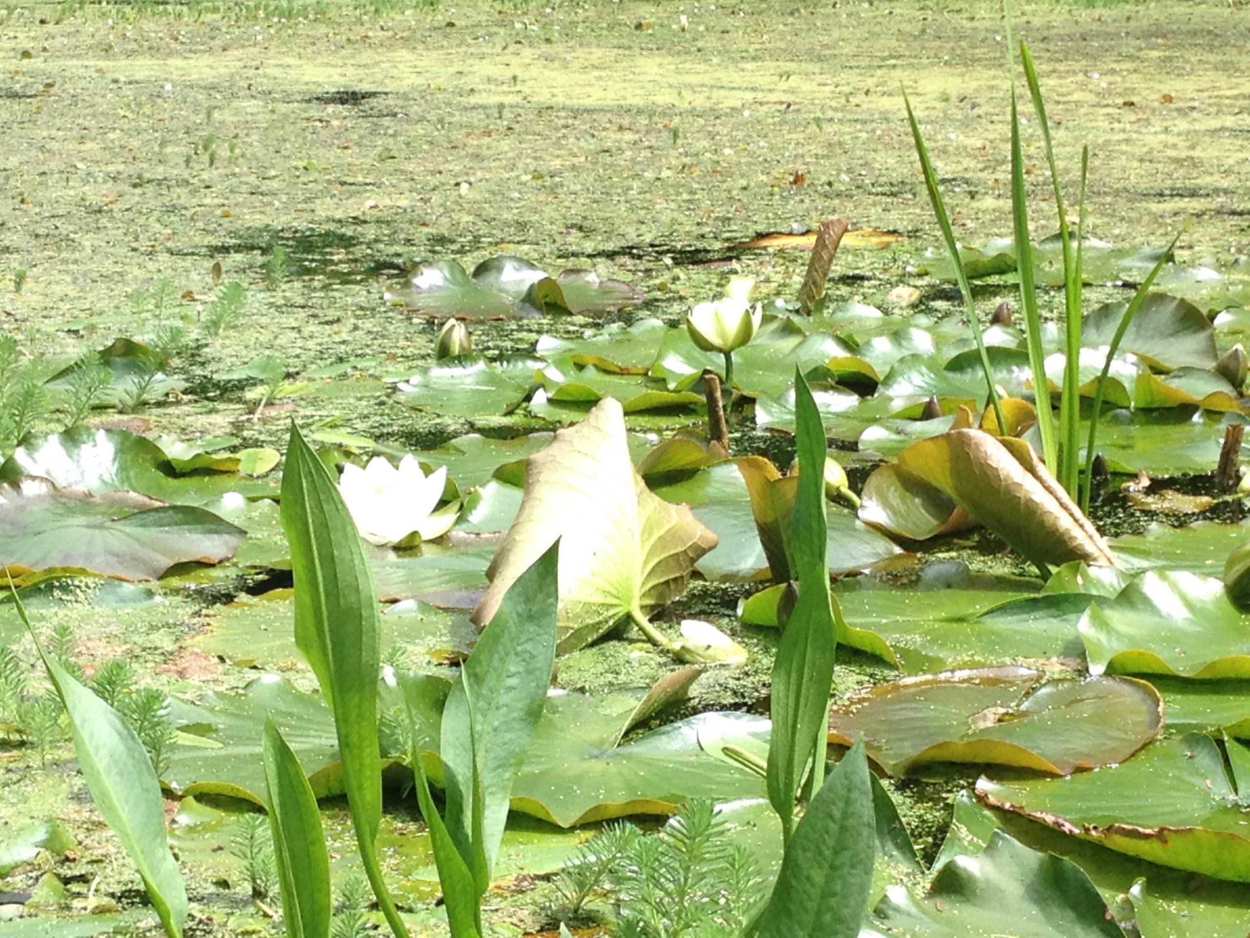 pondgreen